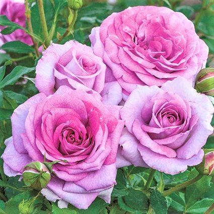 Violet's Pride™ Rose