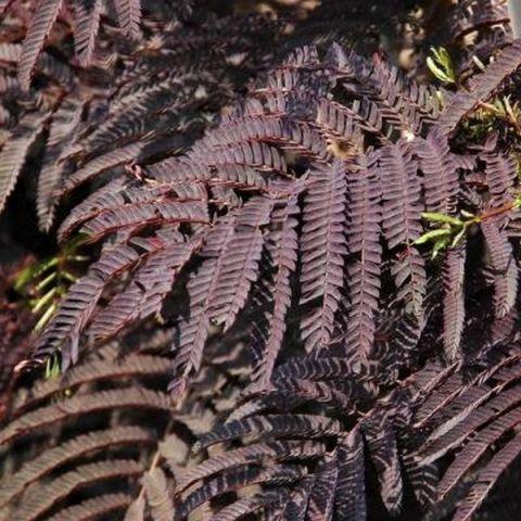Summer Chocolate Mimosa Tree