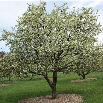 Dolgo Crabapple Tree