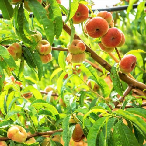 Donut Peach Tree
