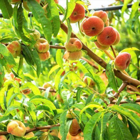 Donut Peach Tree