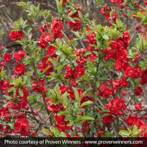 Double Take Scarlet Storm™ Quince
