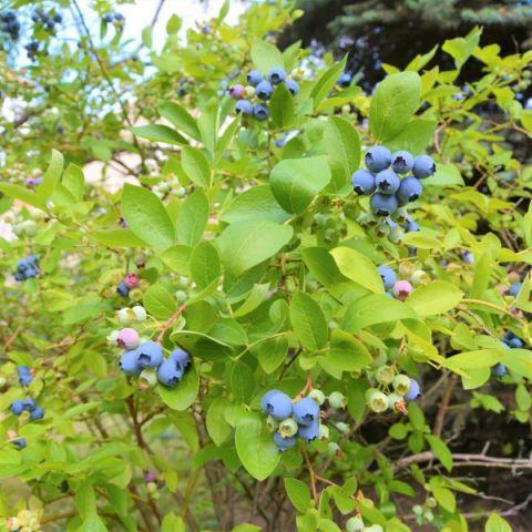 Draper Blueberry