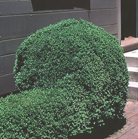 Emerald Jewel Boxwood