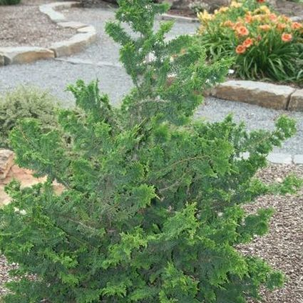 Fernspray False Cypress