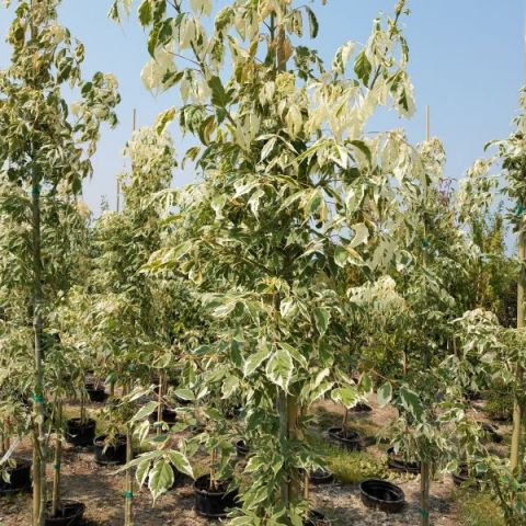 Flamingo Boxelder Maple