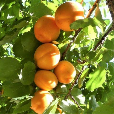 Flavor Delight Aprium