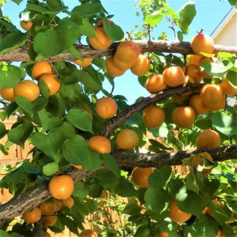 Golden Sweet Apricot