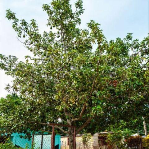 Hass Avocado Tree