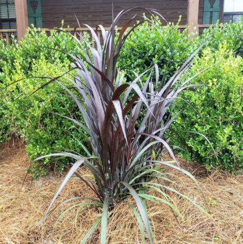 First Knight™ Napier Grass
