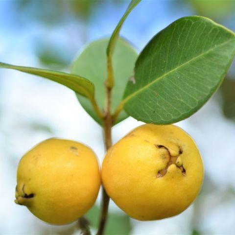 Lemon Guava