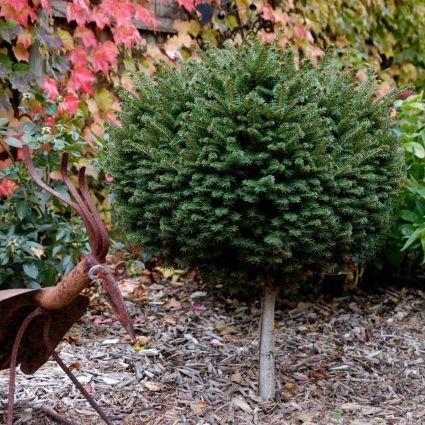 Little Gem Norway Spruce