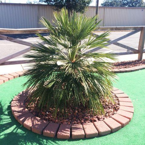 Mediterranean Fan Palm Tree