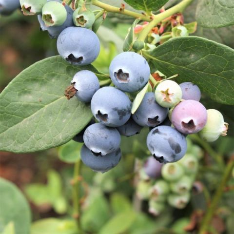 Northcountry Blueberry