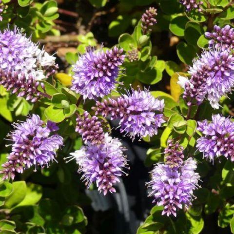 Patty's Purple Hebe