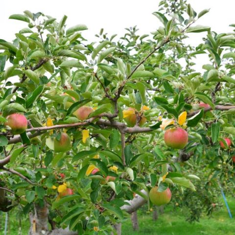 Pink Lady Apple Tree (Cripps Pink Variety)