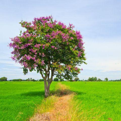 Pink Velour Crape Myrtle Tree Form