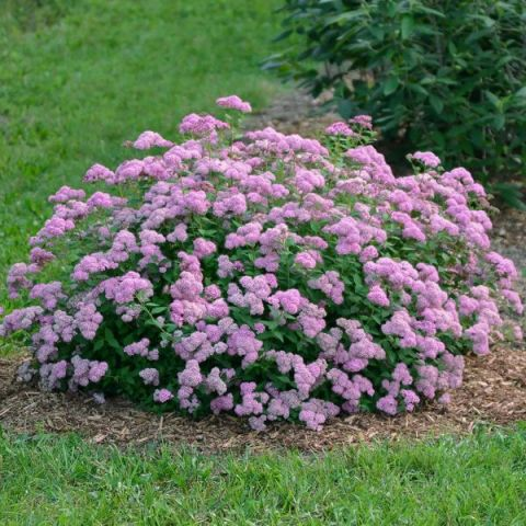 PowderPuff Spirea™