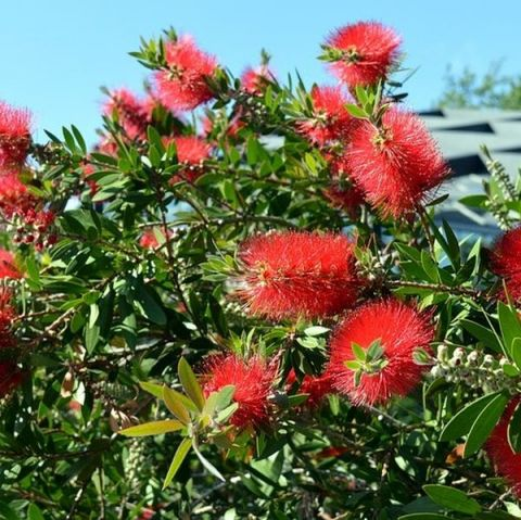 Scarlet Bottlebrush
