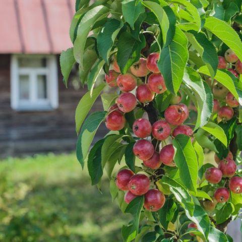 Scarlet Sentinel Columnar Apple