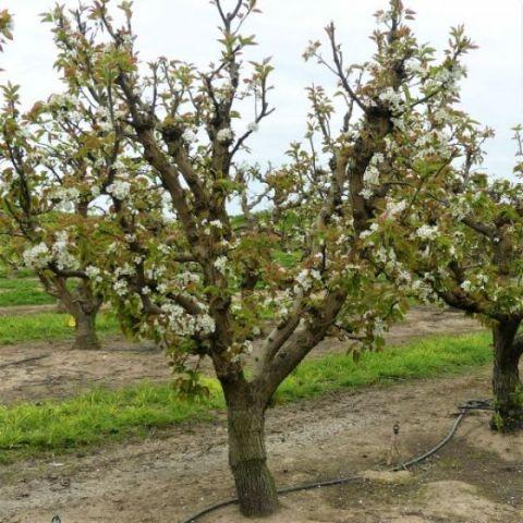 Shinseiki Pear Tree