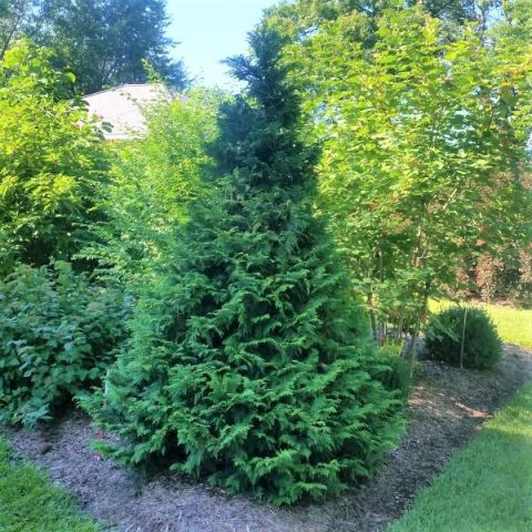 Soft Serve® False Cypress