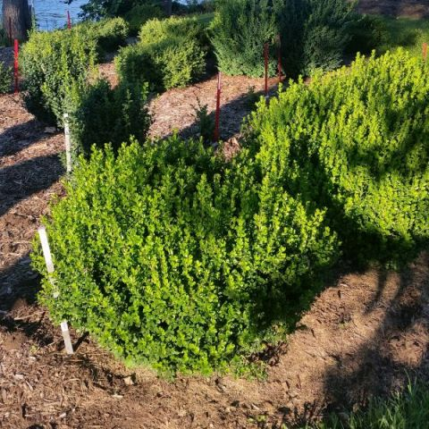 Sprinter® Boxwood