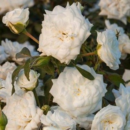 White Drift® Rose