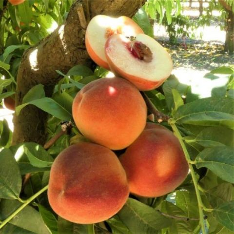 White Lady Peach Tree