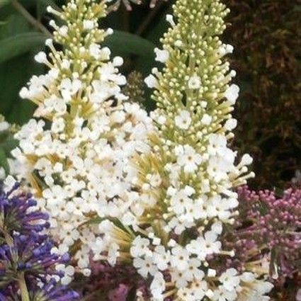 White Profusion Butterfly Bush