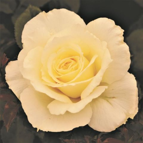 White Licorice™ Rose