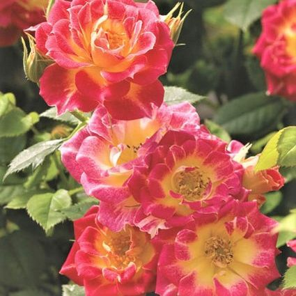 Tiddly Winks™ Rose