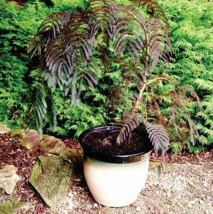 Chocolate Fountain Mimosa Tree