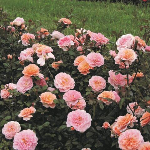Apricot Drift® Rose