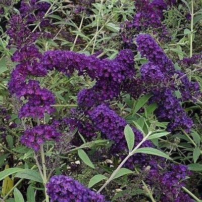 Black Knight Butterfly Bush