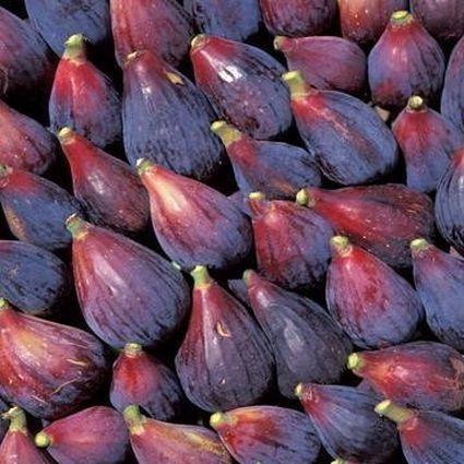 Black Mission Fig Tree