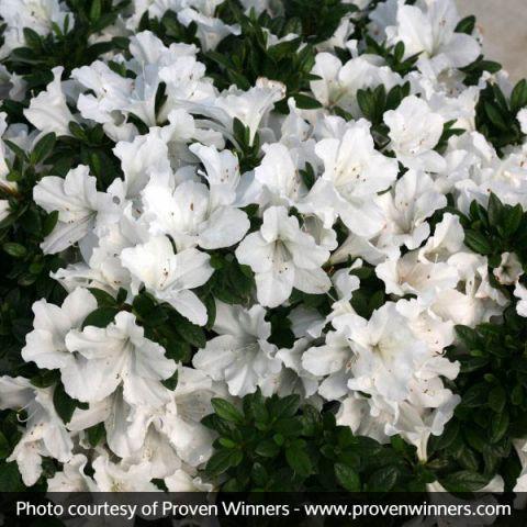 Bloom-A-Thon® White Reblooming Azalea