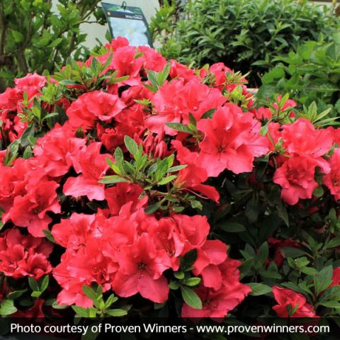 Bloom-A-Thon® Red Reblooming Azalea