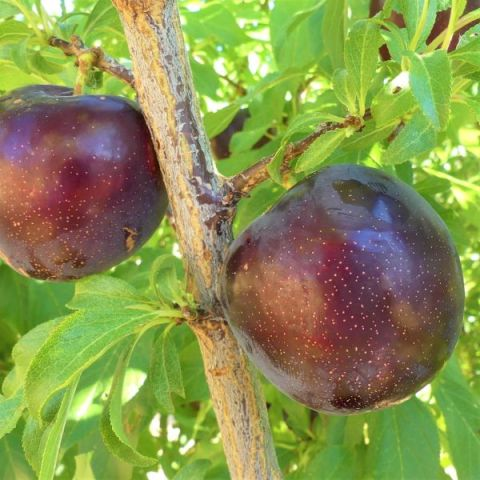 Burgundy Plum Tree