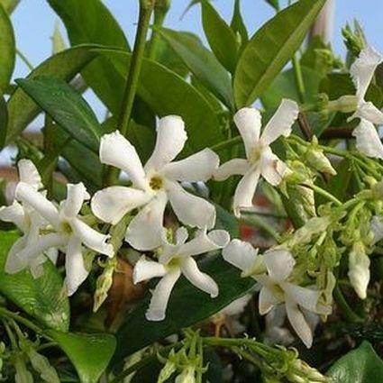 Confederate Star Jasmine