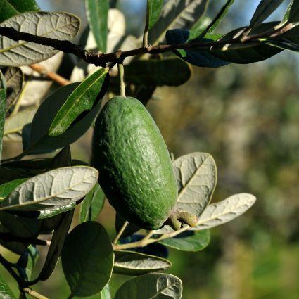 Coolidge Pineapple Guava