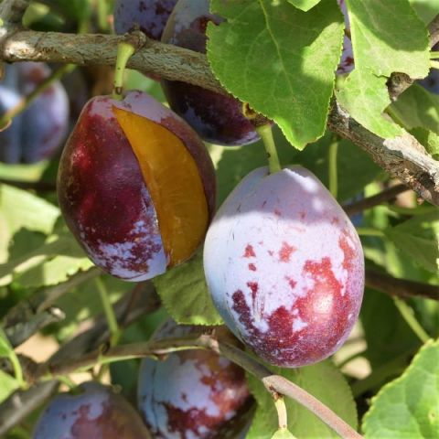 French Improved European Prune Tree