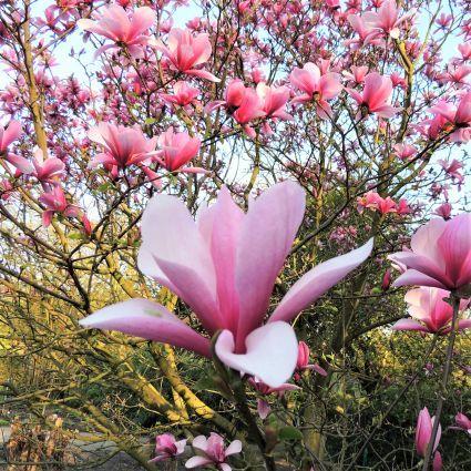 Galaxy Magnolia