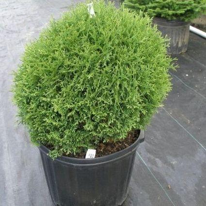 Hetz Midget Arborvitae