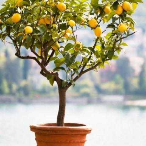Improved Dwarf Meyer Lemon Tree