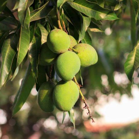 Keitt Mango Tree