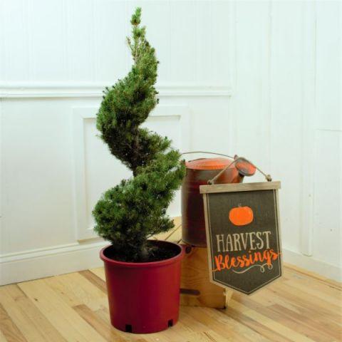 Dwarf Alberta Spruce Spiral Topiary