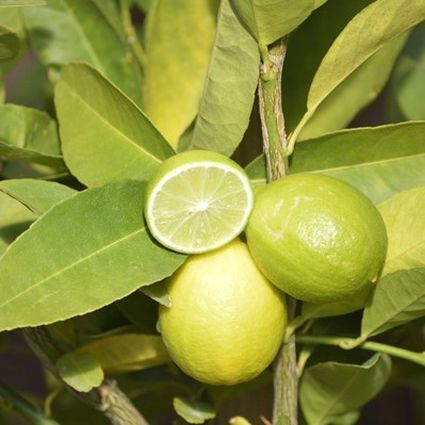 Mexican Key Lime