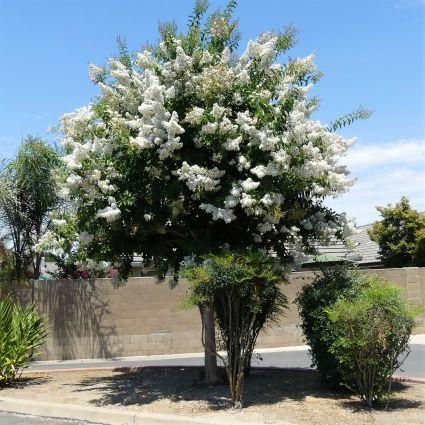 Natchez Crape Myrtle Tree Form