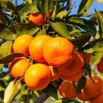Owari Satsuma Mandarin